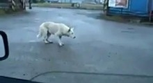 Amazing Dancing Dog