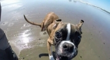 Two Legged Boxer Duncan Lou Who -  First Trip to the Beach